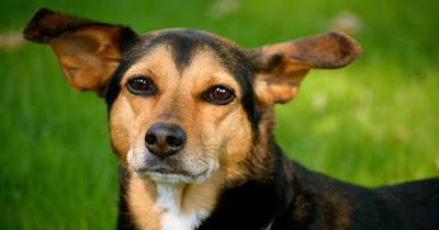 Beagleman (Beagle Doberman Pinscher mix) Temperament, Size, Lifespan, Adoption