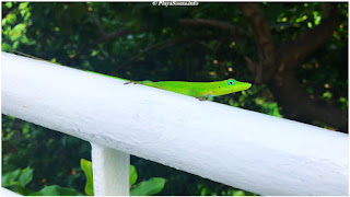 Lizard Sosua