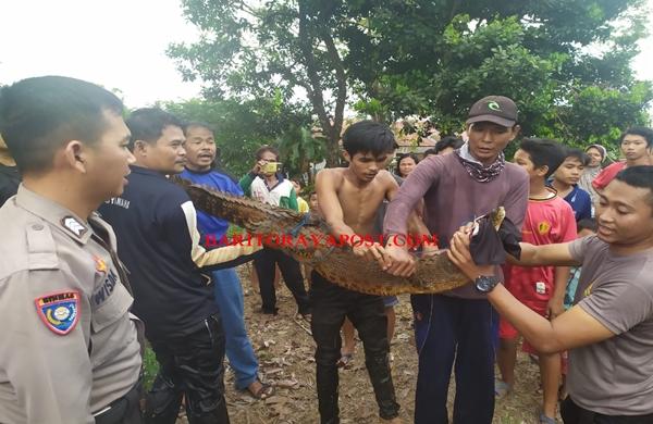 Seekor Buaya Rawa Berhasil Ditangkap Warga Mentaren
