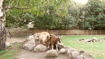 Mudchute farm - goats