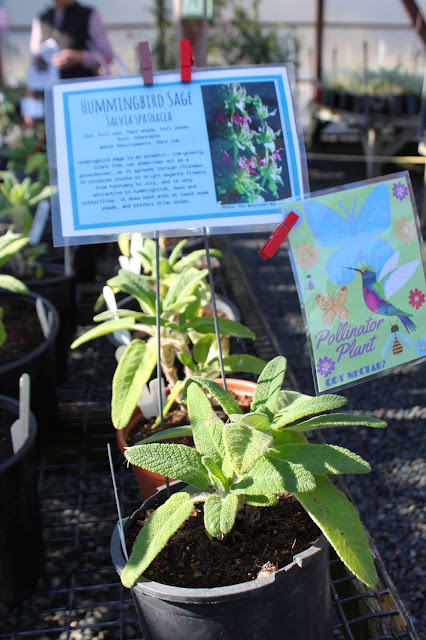 Hummingbird Sage for sale at the San Bruno Mountain Watch plant sale.