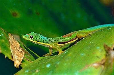 Gecko Diurno Listado (Phelsuma lineata)