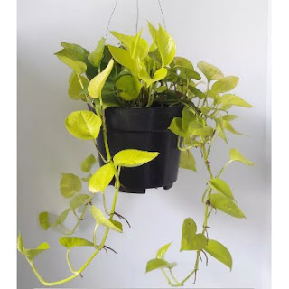 Tanaman Philodendron / Srigading
