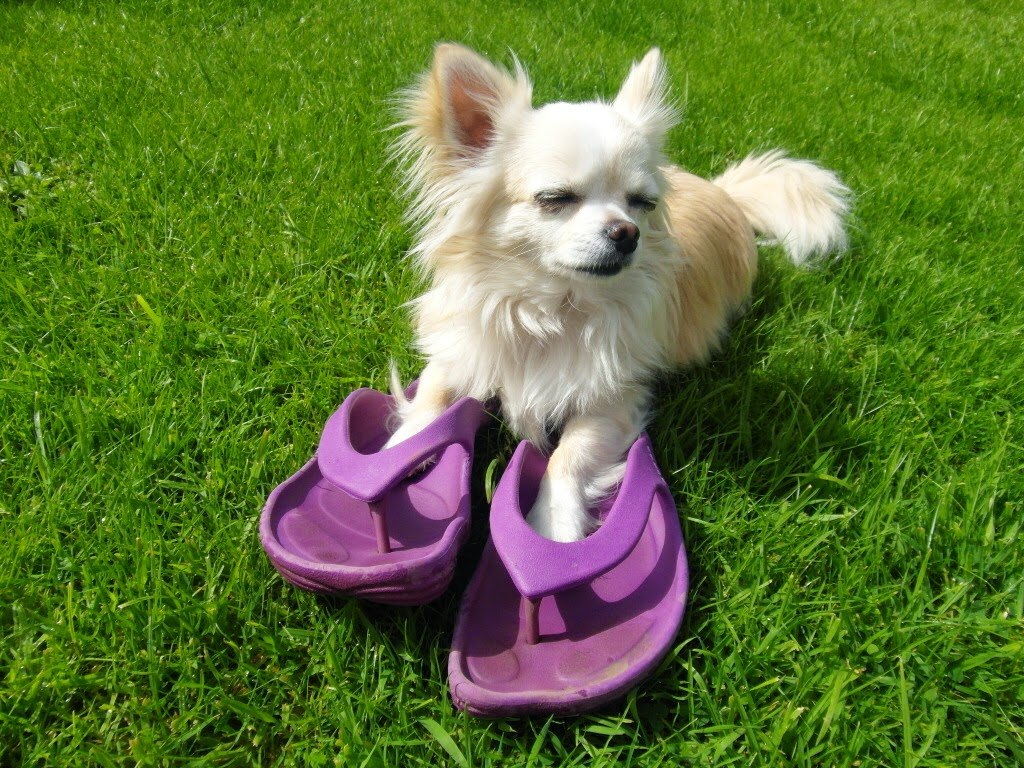 Yep, he like's flipflops too. Not quite as comfy though. pepe, dog, chihuahua, crocs, flip flops