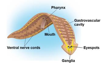 Specii de platyhelminthes trematoda, Meniu de navigare - Taxoni plathelminthen