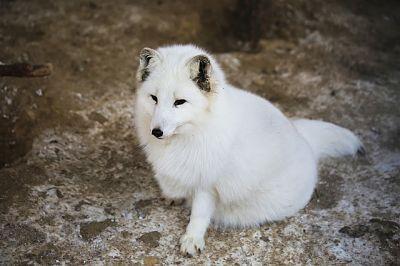 Zorro blanco sentado sobre una roca.