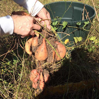 photo of hands holding up a harvested bunch of sweet potatoes