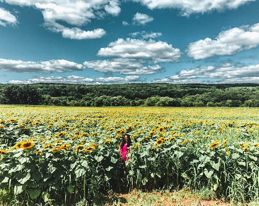 Sunflower Field in New Jersey