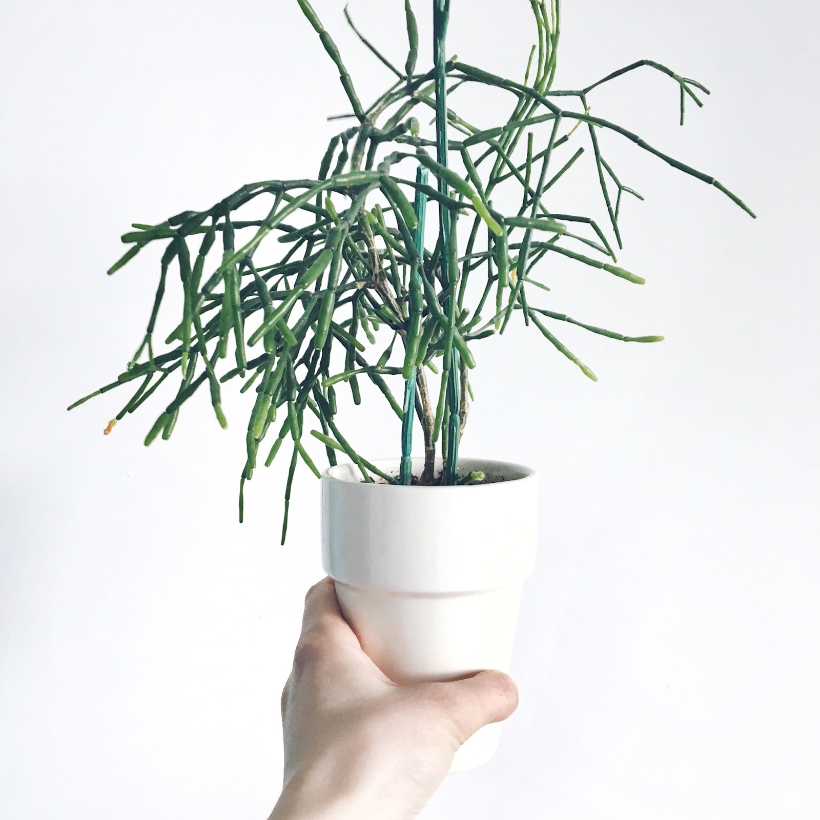 hatiora augalas