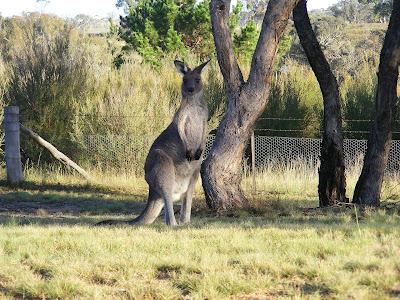 Imagem de um Canguru