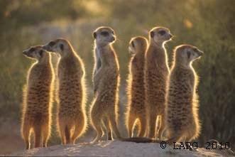 Meerkats life of pi - photo#35