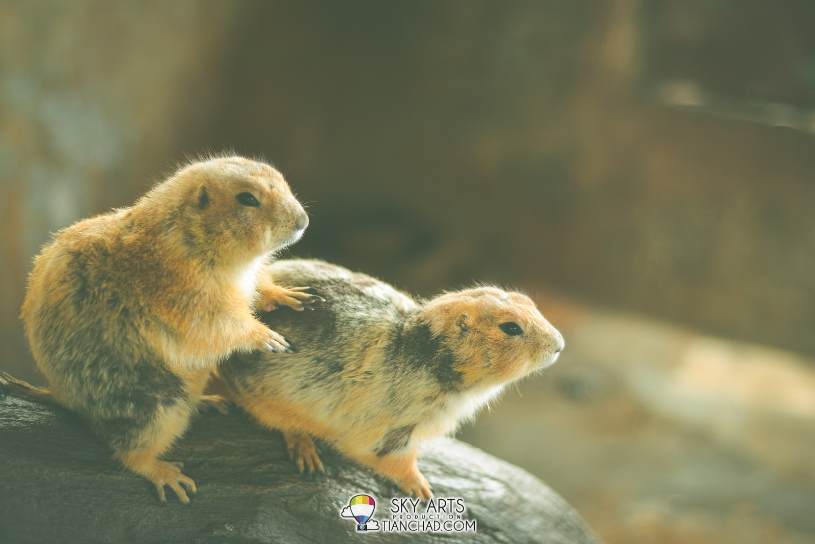 Prairie dogs looks cute and funny with its short hands