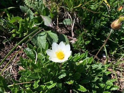 Dryas octopetala – White Dryas, Mountain Avens (Camedrio alpino).