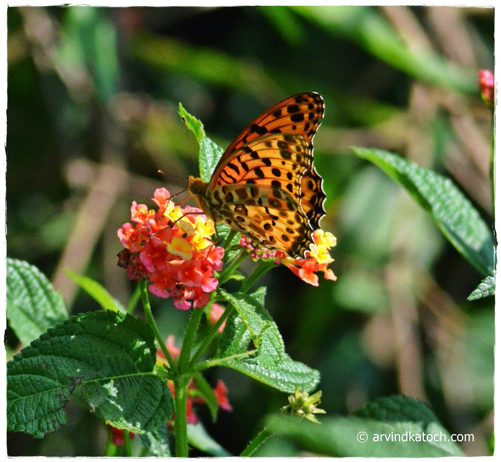Yellow, Butterfly, Himachal, Lantana