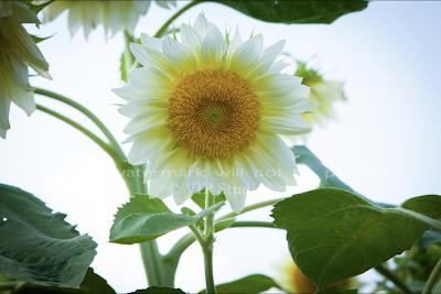 Sunflower_6853 Photo Print