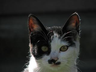 ブラック・ジャックっぽい白黒猫