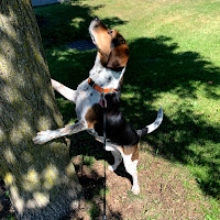 A photo of Lincoln looking for a squirrel