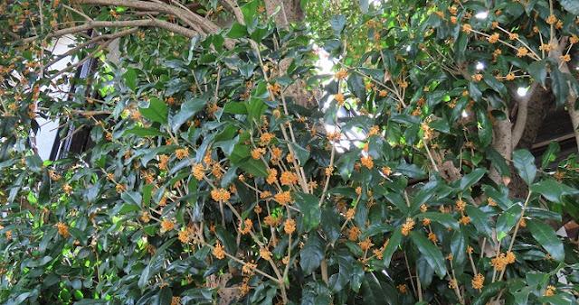 枝に咲くキンモクセイ