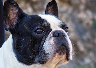 Mid America Boston Terrier Rescue