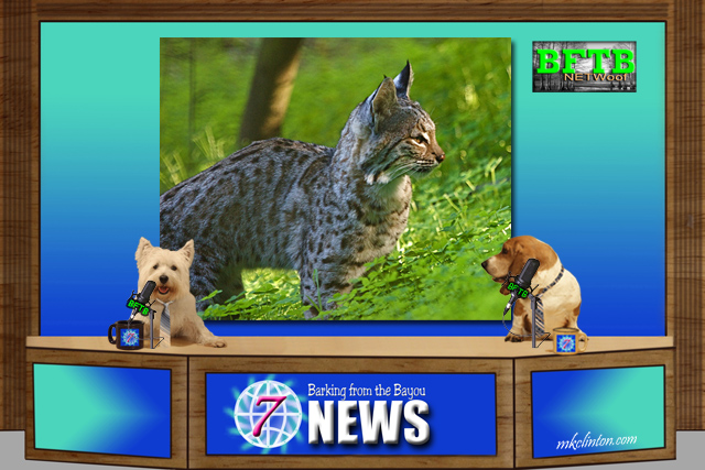 BFTB NETWoof News report on Bobcat Fever