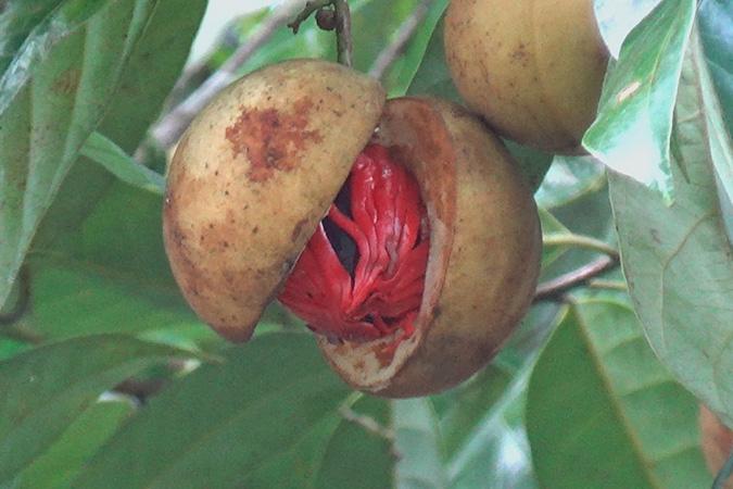 Dlium Nutmeg (Myristica fragrans)