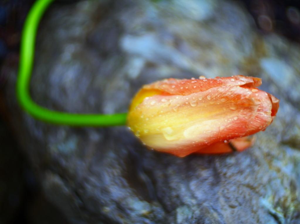 #279 XiaoYI Zoom Lens 12-40mm 3.5-5.6 – Vom Starkregen niedergedrückte Tulpe