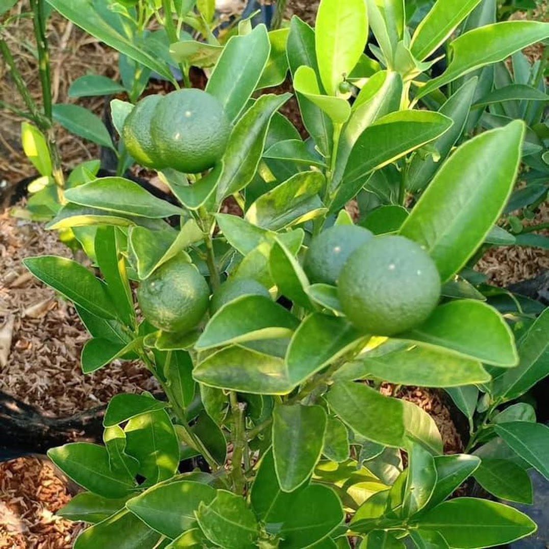 Produc Bibit Pohon Jeruk Kip Lemon Cina Sdh Berbuah Kecil2 Tinggi 50 60Cm Tr M Jayapura