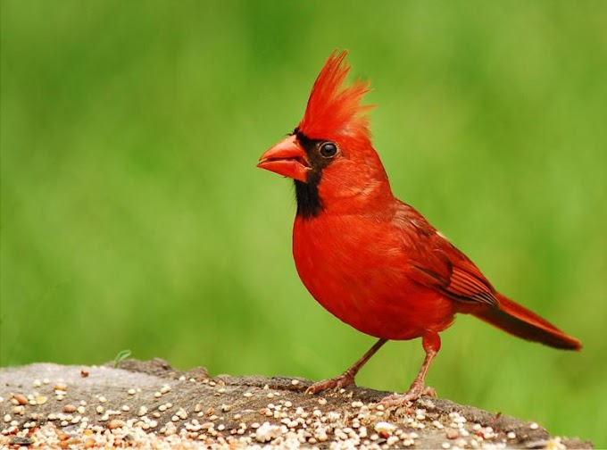 Red Cardinal - A Messenger from Heaven