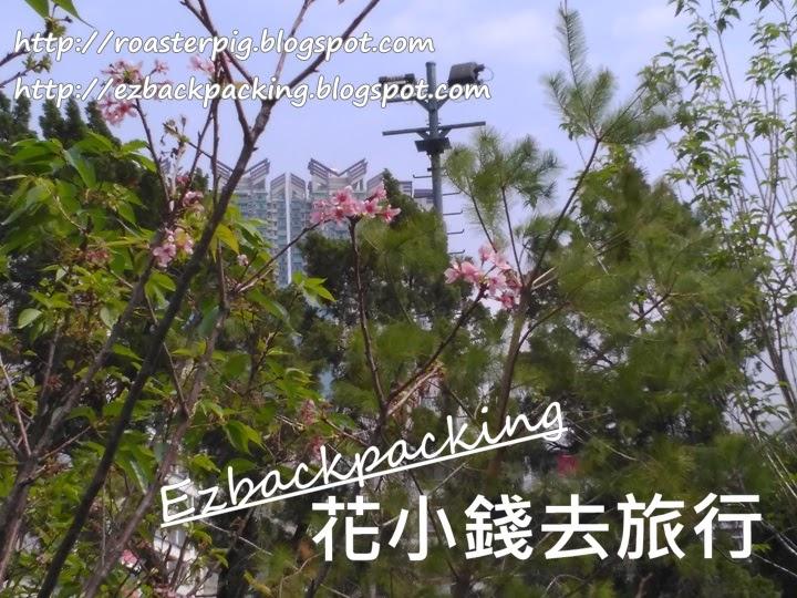 九龍城櫻花2021