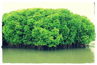 Berkenalan Dengan Ekosistem Mangrove