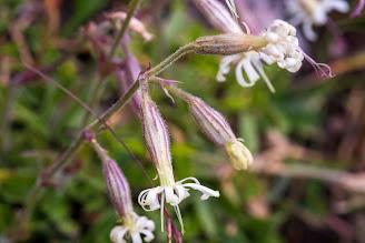 [Caryophyllaceae] Silene nutans – Nottingham Catchfly (Silene pendente)