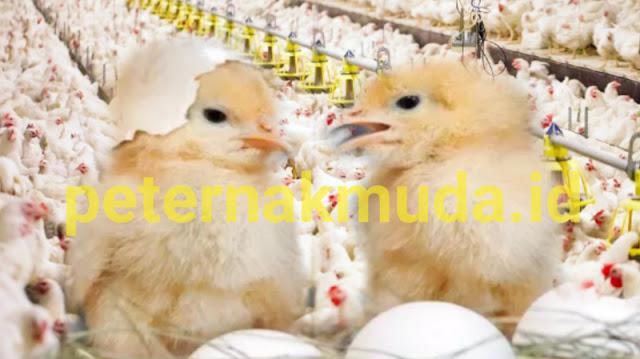 Jual Doc Ayam