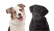 Berger Australien ou Labrador Retriever?