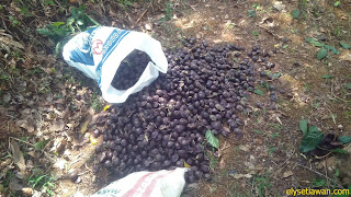 memungut buah jengkol ditanah dan dimasukan ke karung