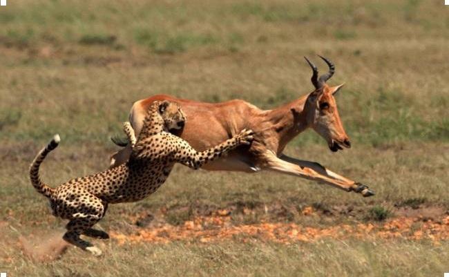 гепард охотится на газель