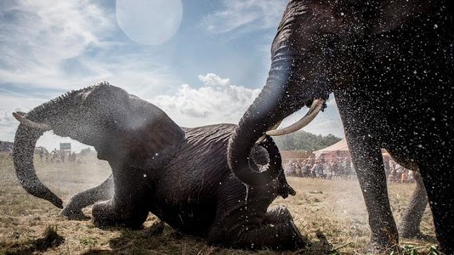 100 ελέφαντες πέθαναν μέσα σε δυο μήνες από την ξηρασία στη νότια Αφρική