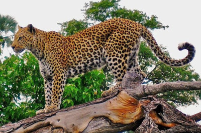 kucing macan tutul jawa asli indonesia