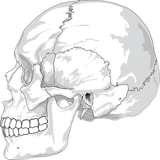 Upper Jaw is an example of Fixed Joint, body movements, ncert class 6 science