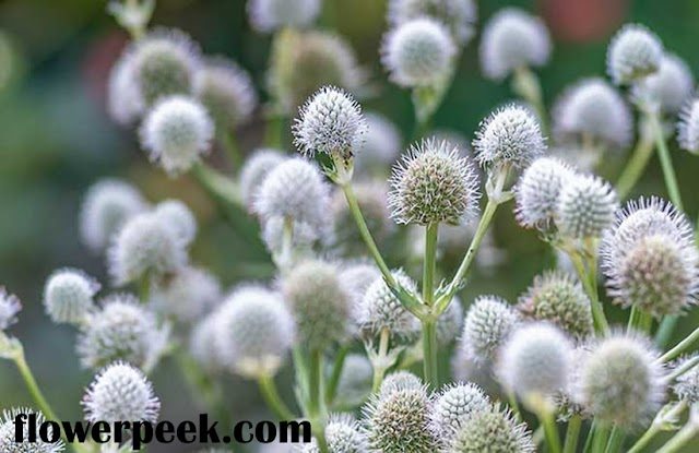 Tips on how to grow Rattlesnake Master Plant