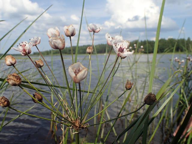 Moniosainen kukka veden päällä