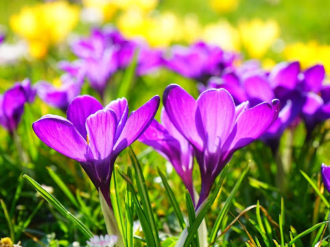 Çiğdem Çiçeği Anlamı Özellikleri Ve Faydaları Nelerdir