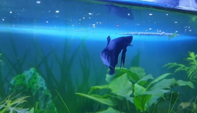 Setup Betta Fish Tank With No Filter