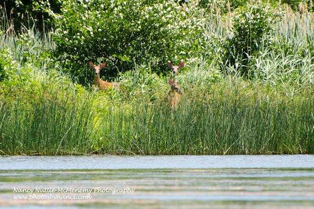three deer in the tall grass