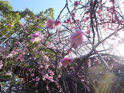 佐太天神宮の梅