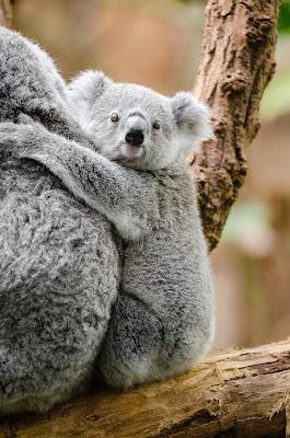Kumpulan Wallpaper Koala Lucu HD