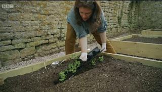 Sugersnap pea planting