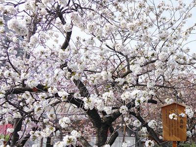 大阪造幣局 桜の通り抜け 大島桜