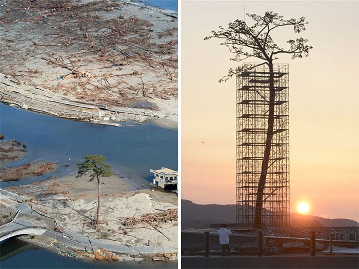 17 Pictures Of Trees That Prove The Miracle Of Life - The Only Tree That Survived The Tsunami In Japan Between 70,000 Trees. Today Protected And Restored