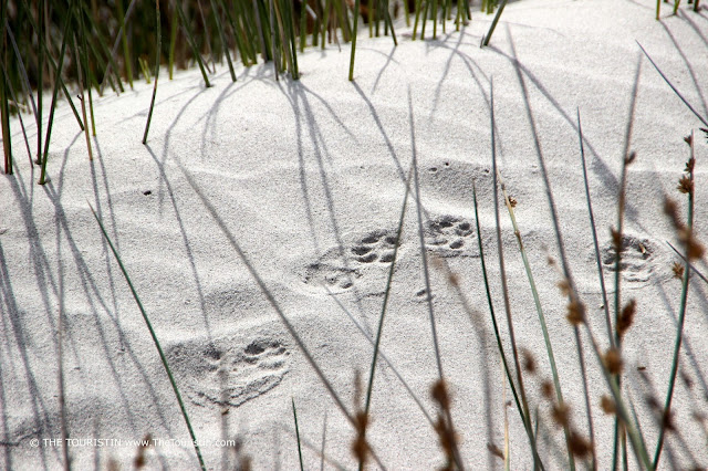 Small paw prints in white sand.