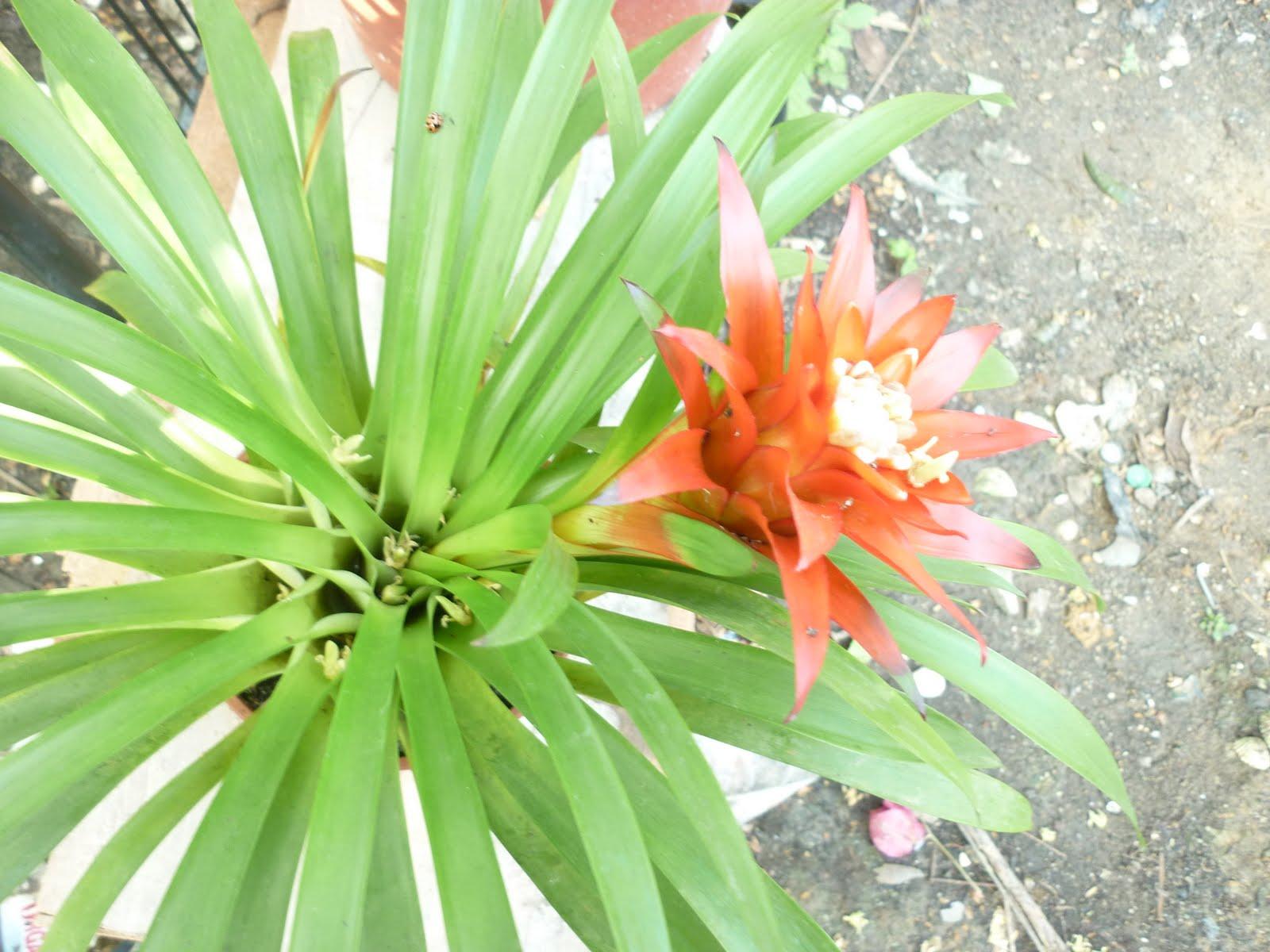 19 Terbaru Bunga Nanas Gambar Bunga
